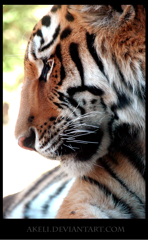 Tiger in Profile by akeli
