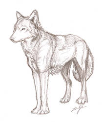 Wolf Sketch by akeli