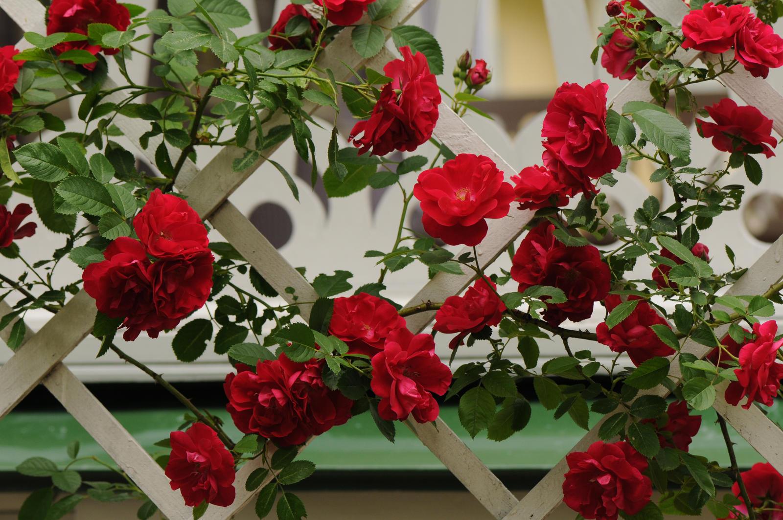Роза чайно-гибридная флуоресцент - купить саженцы из питомни.