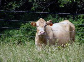 Moo Cow Again by brindlegreyhound