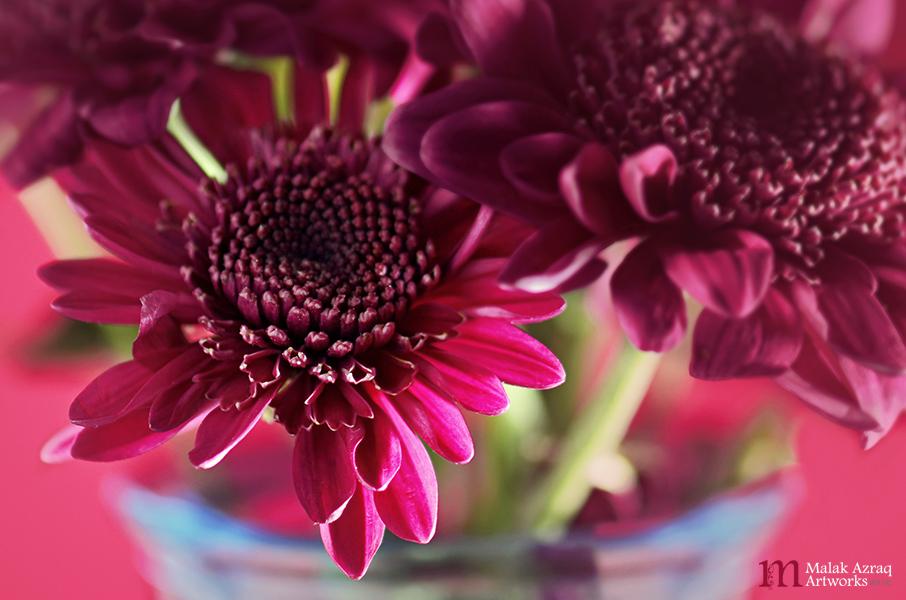 Dahlia Flower by MaryamJassim