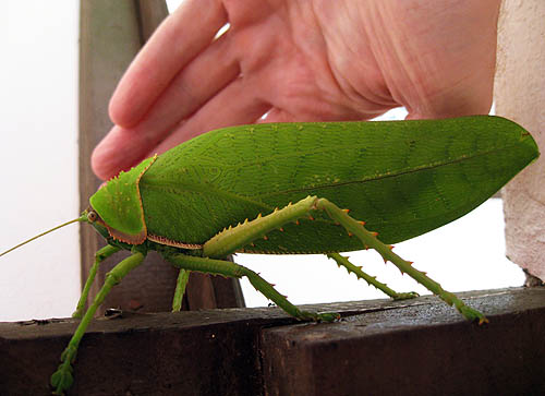 Giant False Leaf Katydid from Thailand by gconeyhiden on ...