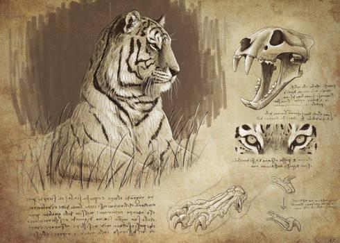 Vintage siberian tiger study