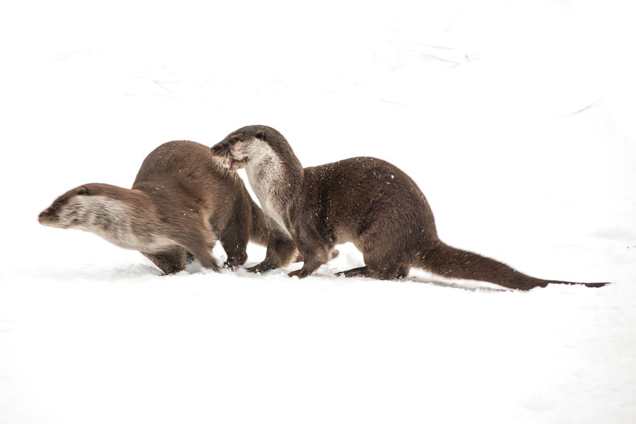 Playing Otters I by NicoFroehberg