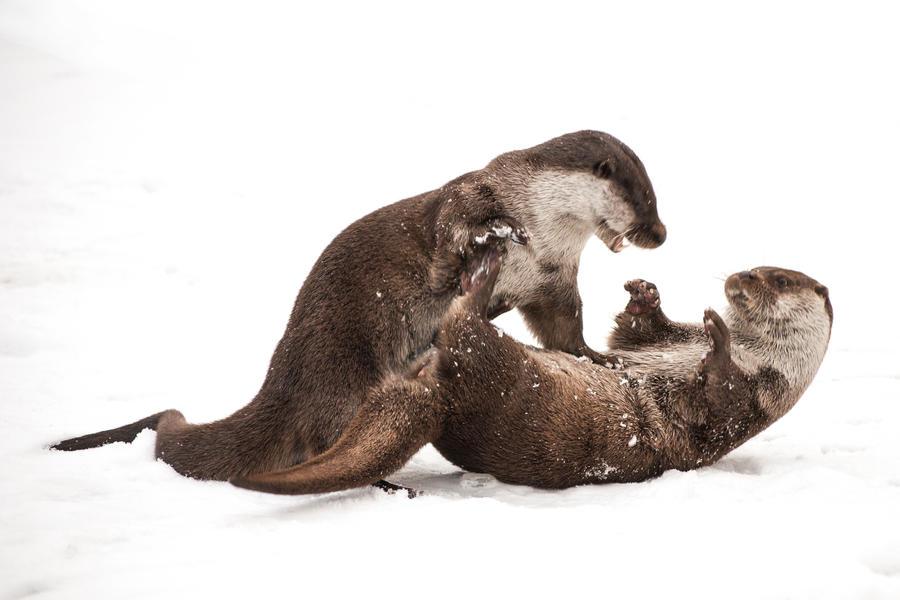 Playing Otters II by NicoFroehberg