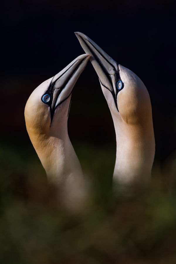 The Love of Gannets by NicoFroehberg