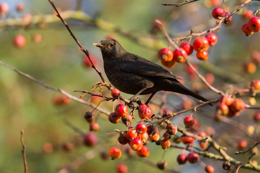 Berries by NicoFroehberg