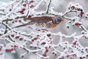 Winter Fieldfare by NicoFroehberg