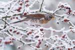 Winter Fieldfare