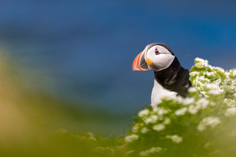 Puffin by NicoFroehberg