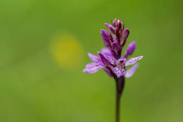 Arctic Orchid by NicoFroehberg