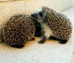 Hedgehog Trio... 10. by OrsatUrsusActos