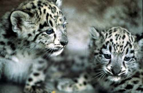 Baby Snow Leopards From Zoo By Ilovelost456