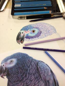 Colored Pencil WIP
