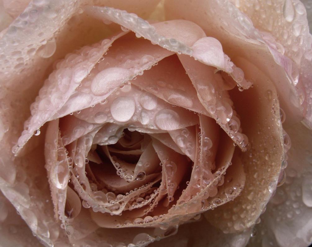 Pink Rose Leander in tears.... by SjerZ