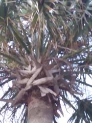 Palm Treetop WEV