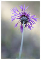 Purple dream by devknu