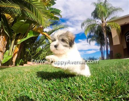 Adorable AKC Havanese puppies by puppyavenue on DeviantArt