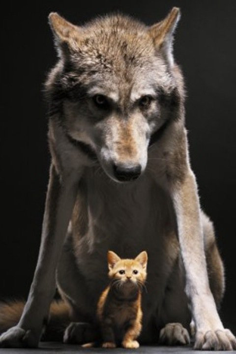 http://fc06.deviantart.net/fs71/f/2010/199/9/2/Wolf_and_kitty_by_wolfdragon16.jpg