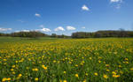 Many, many dandelions... by attomanen