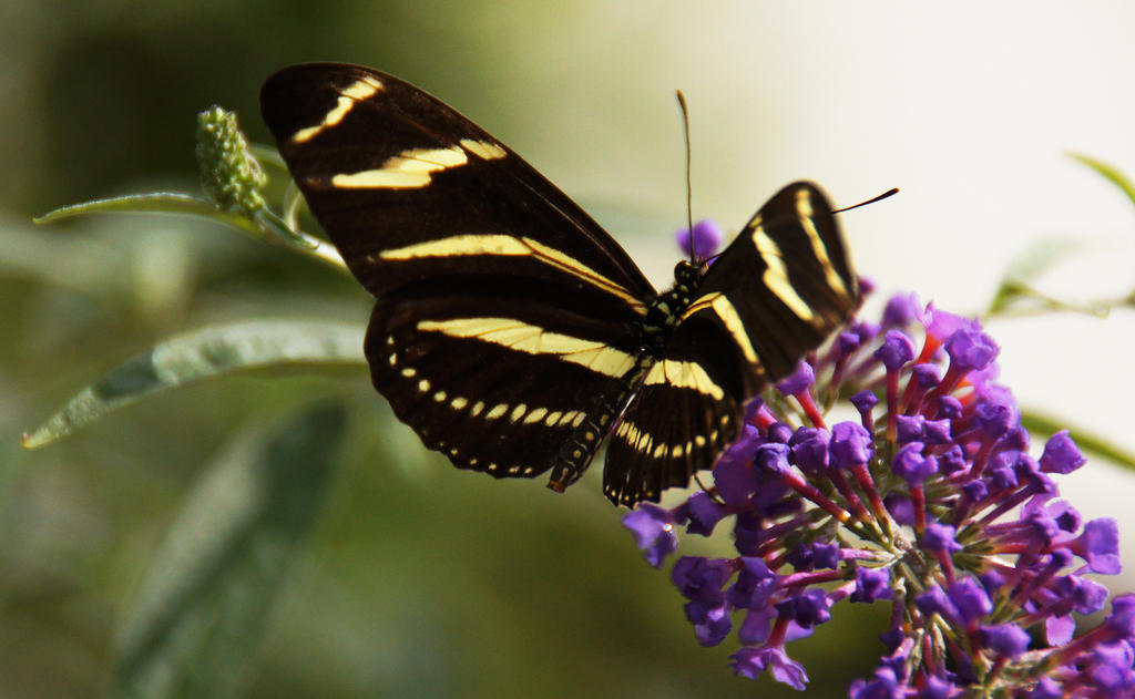 Butterfly 5 by luckyseven11779