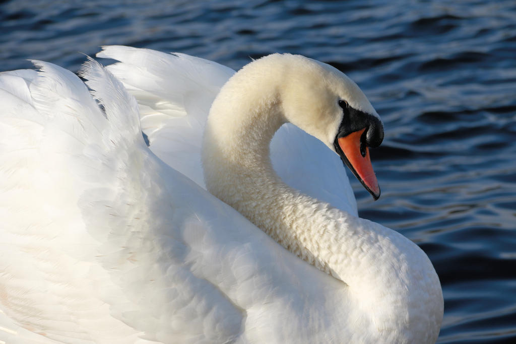 Swan by Tiger--photography