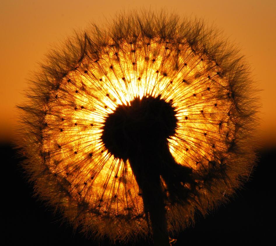 dandelion sunset related keywords - photo #18