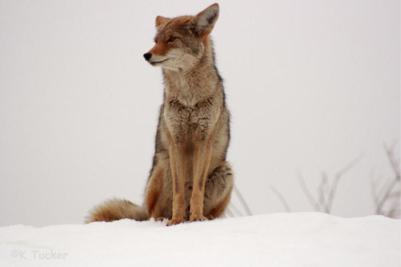 Sitting coyote by KrazyKim