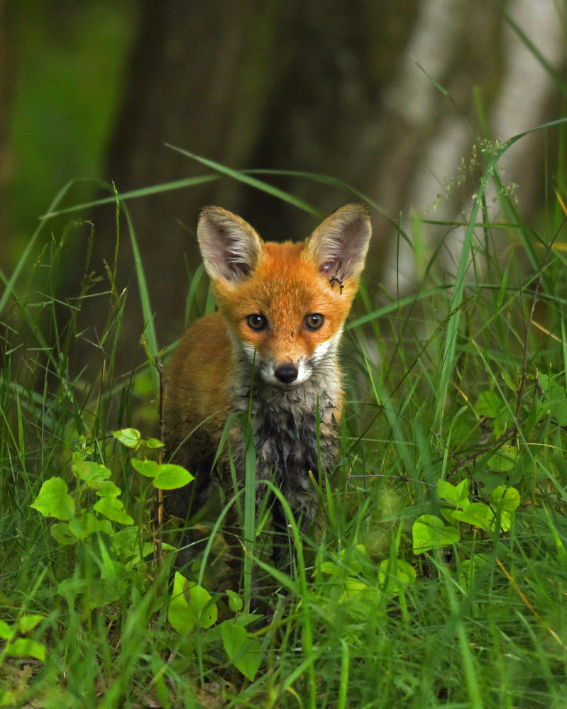 cute young Fox by Paintballer44