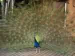 Peacock 371