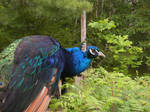 Peacock 586