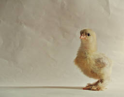 Chick - Cochin Rooster-16 days old