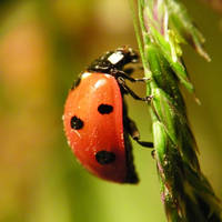 Ladybug 2 by Justysiak
