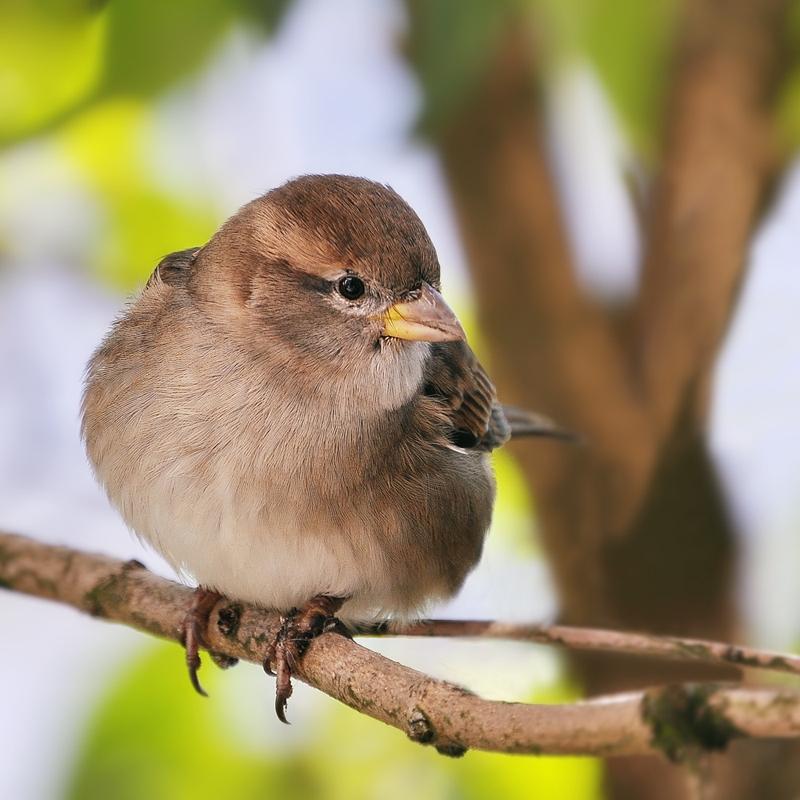 Sparrow by Justysiak