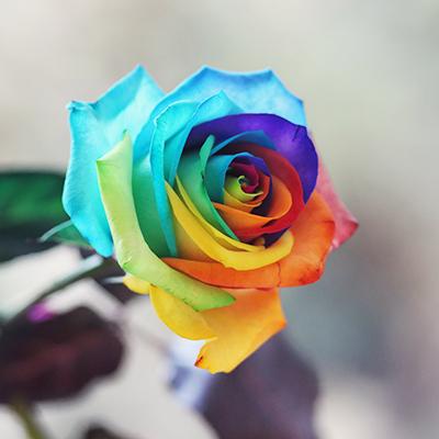 Rainbow rose by lieveheersbeestje