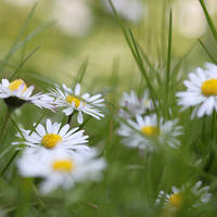Field of daisies by meganjoy