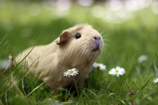 Guinea pig in nature