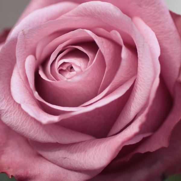 Rose III by lieveheersbeestje