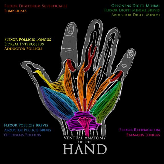 Palmar Anatomy of the HAND by Anaxi on DeviantArt