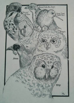 Native Birds of New Zealand