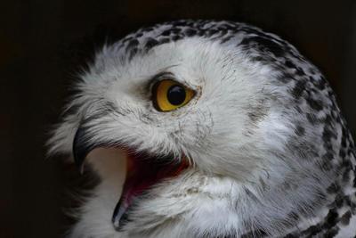 Screaming Snow owl