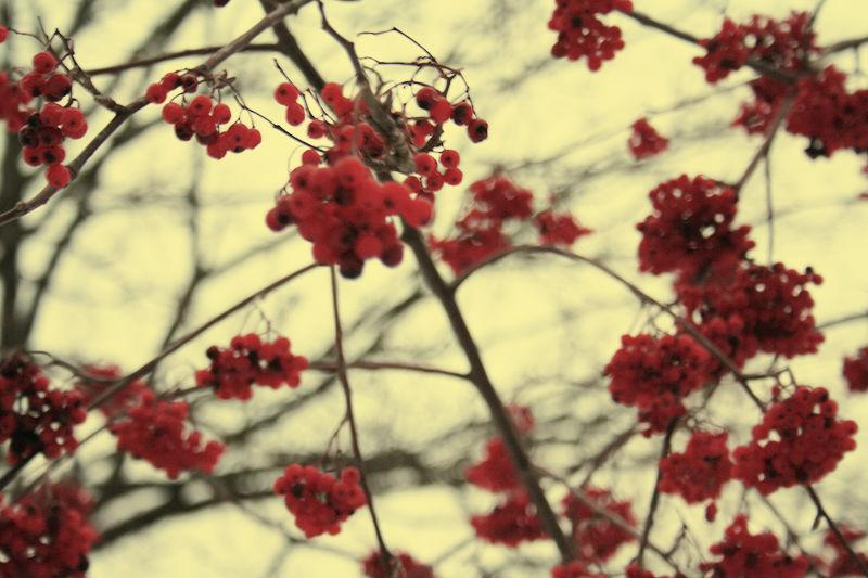 Vintage Red Berrys by GrapeTonic