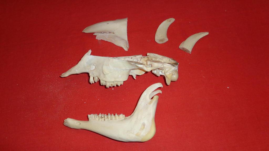 partial ram skull by theskullguy