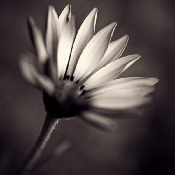 Flower black and white by julie rc