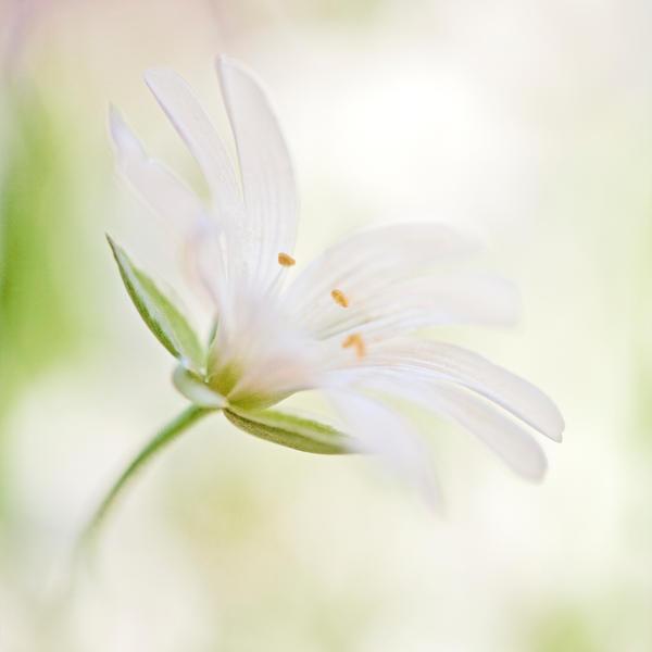 spring flower ... by julie-rc