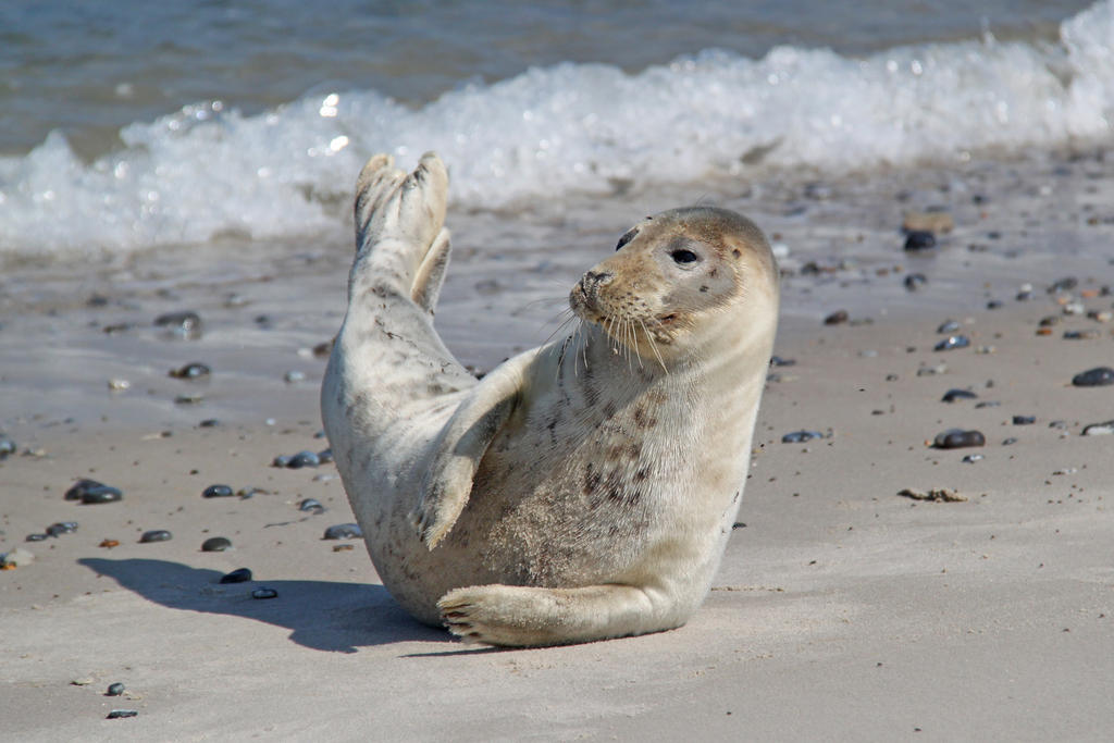 Grey seal by BetaDraconis
