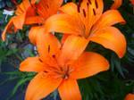 Orange_Flower_Beauty2 by MewMewKitty12091