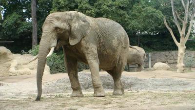 Elephant in basel zoo by santa-qween