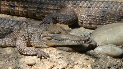 Crocodile in zoo by santa-qween