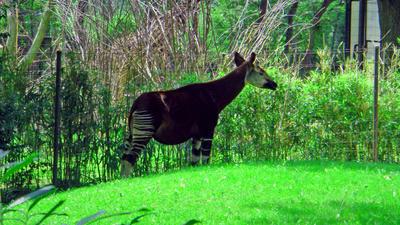 d okapi by santa-qween